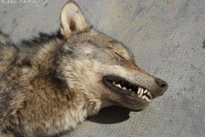 lupo morto